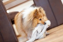 Portrait of a shetland sheepdog with a toy stock photo