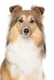 Portrait of Shetland Sheepdogs Royalty Free Stock Photography