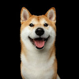 Portrait of Shiba inu Dog Isolated Black Background. Portrait of Smiling Shiba inu Dog, Looks Happy, Isolated Black Background, Front view stock images