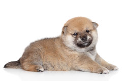 Portrait of Shiba Inu puppy (month) Royalty Free Stock Photography