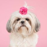 Portrait of a Shih tzu dog Royalty Free Stock Image