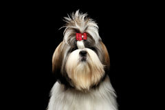 Portrait of Shih tzu. Portrait of Groomed Shih tzu Dog on Isolated Black Background royalty free stock images