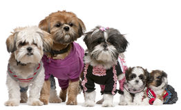 Portrait of Shih Tzus dressed up Royalty Free Stock Photos