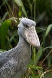 Portrait of shoebill. Portrait of a shoebill  also known as whalehead or shoe-billed stork Stock Image