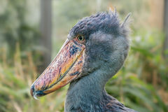 Portrait of shoebill. (Balaeniceps rex) also known as whalehead or shoe-billed stork Stock Image