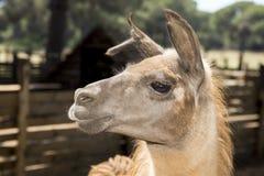 Portrait of a shorn llama Stock Photo