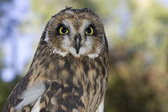 Portrait of a short eared owl Stock Images