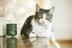 Portrait of a shorthair cat with beautiful and playful eyes sitting on a glass table in the soft natural light beside the flowers. [Selective focus royalty free stock images