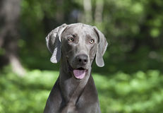 Portrait of shorthaired Weimaraner dog Stock Image