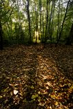 Portrait shot of autumn leaves and shafts of light in a wood. Woodland scene showing shafts of sunlight through trees and illuminating fallen brown leaves Stock Images