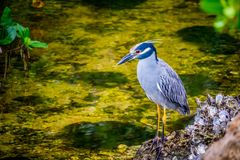A Yellow-Crowned Night Heron in Sanibel Island, Florida. A portrait shot of a black-crowned night heron chilling around the island of Ding Darling National royalty free stock photos