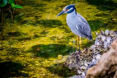 A Yellow-Crowned Night Heron in Sanibel Island, Florida. A portrait shot of a black-crowned night heron chilling around the island of Ding Darling National royalty free stock photo