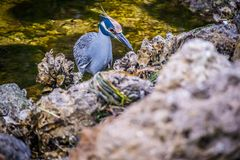 A Yellow-Crowned Night Heron in Sanibel Island, Florida. A portrait shot of a black-crowned night heron chilling around the island of Ding Darling National stock images