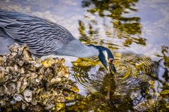 A Yellow-Crowned Night Heron in Sanibel Island, Florida. A portrait shot of a black-crowned night heron chilling around the island of Ding Darling National stock photo