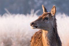 Portrait of a Female Red Deer at Sunrise in England. A portrait shot of a Female Red Deer photographed in profile near London, UK. The warm morning sunlight Stock Photography