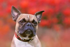 Portrait shot of head of a fawn French Bulldog dog with black mask and pointy ears in front of red autumn background royalty free illustration