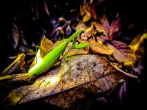 Portrait shot of a Praying Mantis or Mantis Religiosa stepping-over a dried magnolia's leaf. royalty free stock image