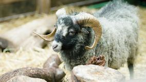 A young proud ram standing alone stock video footage