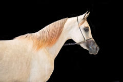 Portrait of show grey arabian horse at black background Royalty Free Stock Photos