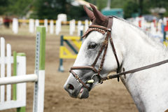 Portrait of a show jumper sport horse during competition Stock Images
