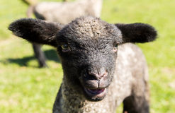 Portrait of Shropshire lamb in meadow Royalty Free Stock Photos