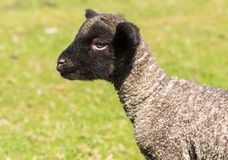 Portrait of Shropshire lamb in meadow. View of young lamb from Shropshire sheep breed in welsh meadow Royalty Free Stock Photo