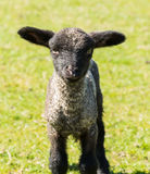 Portrait of Shropshire lamb in meadow. View of young lamb from Shropshire sheep breed in welsh meadow Stock Photos