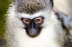 Portrait of a shy Vervet monkey Stock Image
