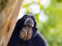 Portrait of a siamang gibbon Royalty Free Stock Image