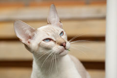 Portrait of Siamese cat Stock Image