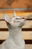 Portrait of Siamese cat Royalty Free Stock Photography