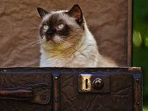 Portrait of Siamese cat Royalty Free Stock Photo
