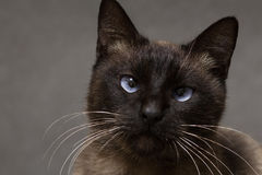 Portrait of a Siamese cat Stock Photos