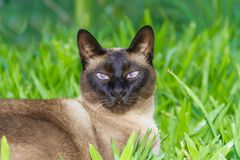 Portrait of siamese cat in the green grass royalty free stock photography