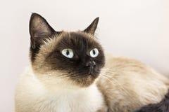Portrait of siamese cat Stock Image