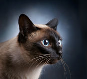 Portrait of a Siamese cat over a dark background Stock Image