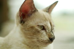 Portrait a siamese cat Royalty Free Stock Photo