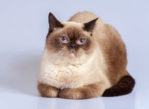 Portrait of siamese cat Stock Images