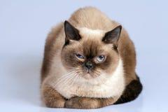Portrait of siamese cat Stock Images