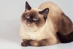 Portrait of siamese cat Stock Photos