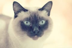 Portrait of a Siamese cat on a summer background. Selective focu Royalty Free Stock Image