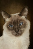 Portrait of Siamese cat Stock Photography