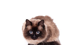 Portrait of a Siamese cat Stock Photography
