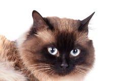 Portrait of a Siamese cat Stock Photo