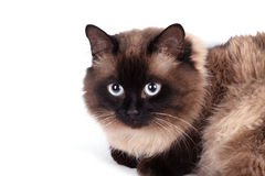 Portrait of a Siamese cat Royalty Free Stock Images