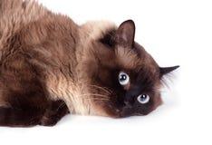 Portrait of a Siamese cat Stock Photos