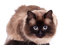 Portrait of a Siamese cat Royalty Free Stock Photo