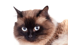 Portrait of a Siamese cat Royalty Free Stock Photography