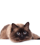 Portrait of a Siamese cat Royalty Free Stock Image