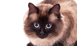 Portrait of a Siamese cat Stock Images